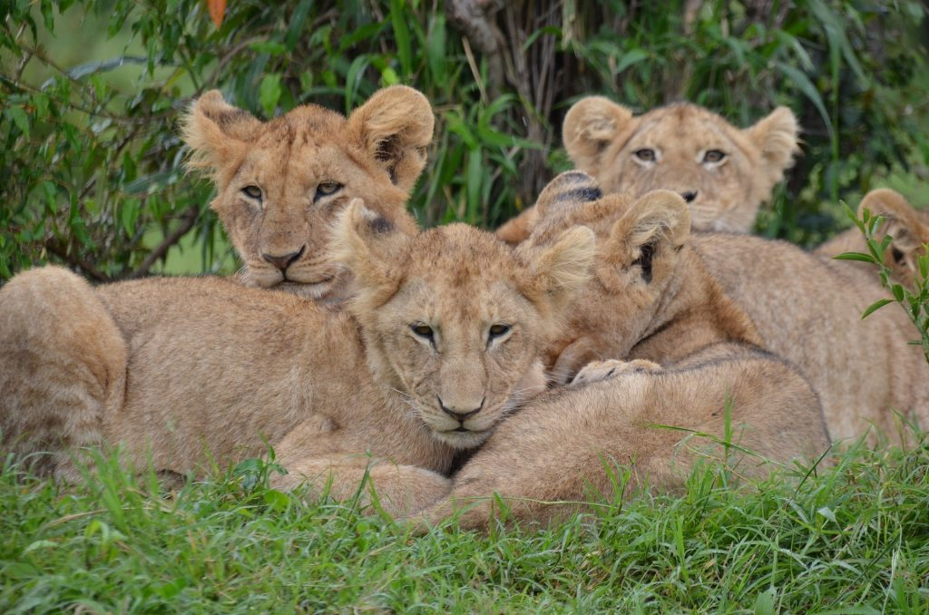 lion cubs kenya